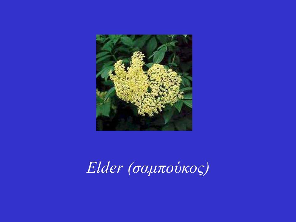 Elder (σαμπούκος)