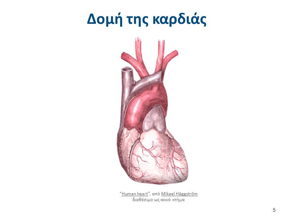 Διάγραμμα της καρδιάς Diagram of the human heart (cropped) el , από Dada διαθέσιμο άδεια CC BY-SA 3.0.
