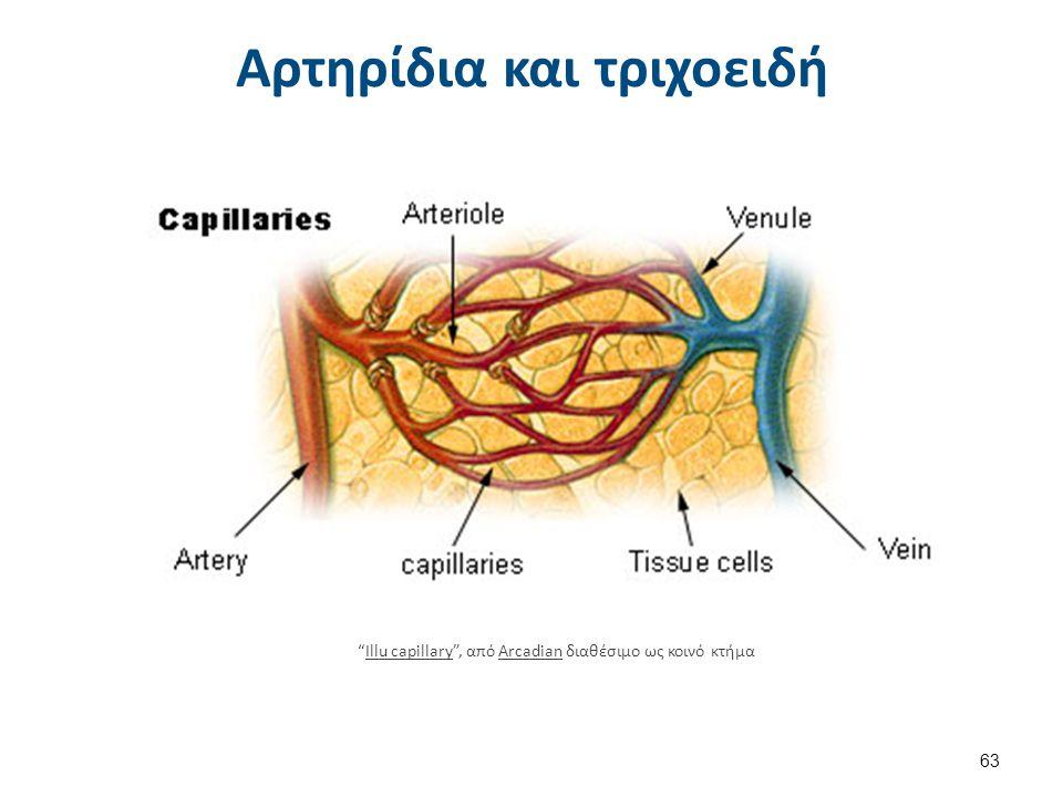 Illu lymph capillary , από Lennert B διαθέσιμο ως κοινό κτήμα