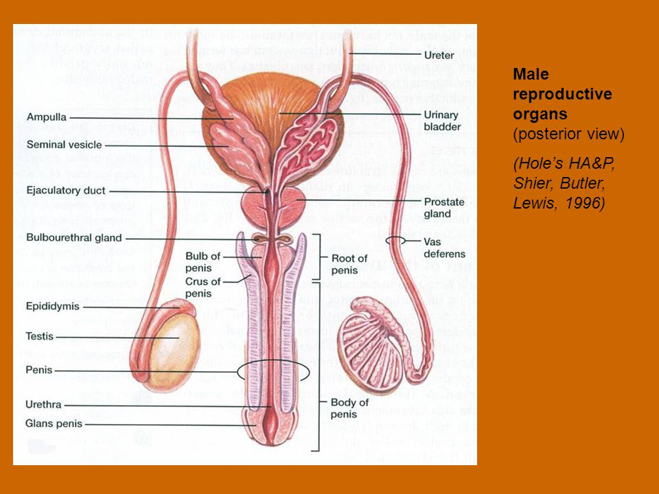 Male reproductive organs (posterior view)