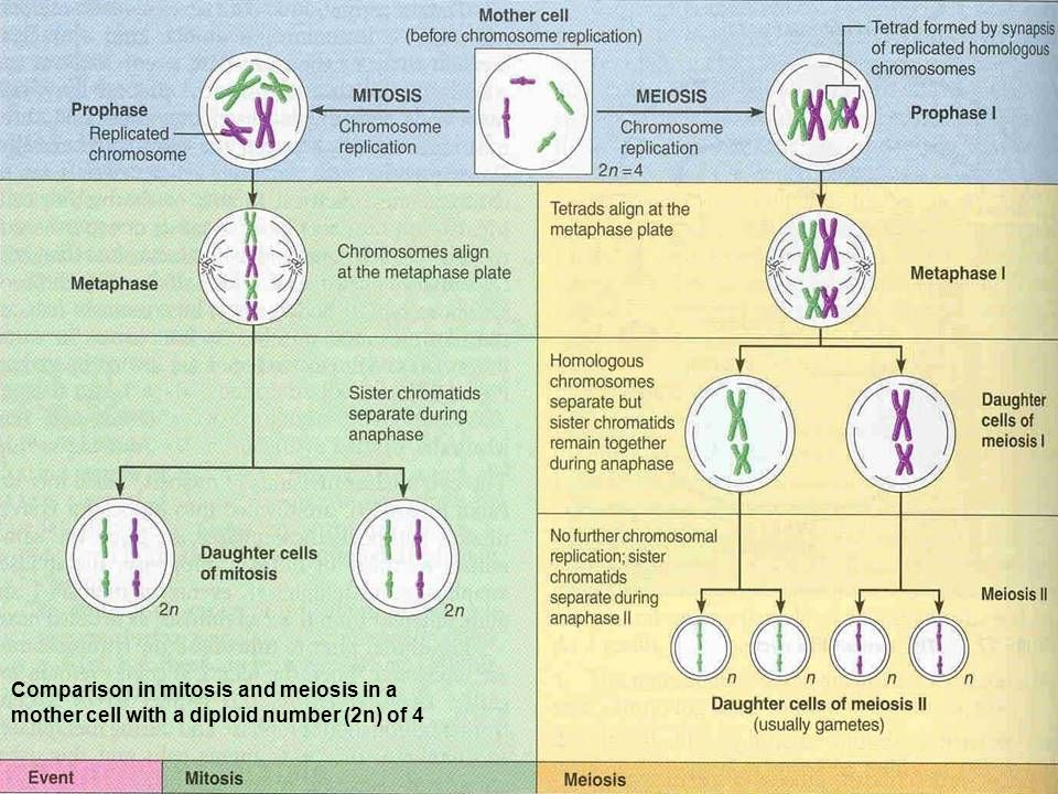 Comparison in mitosis and meiosis in a mother cell with a diploid number (2n) of 4
