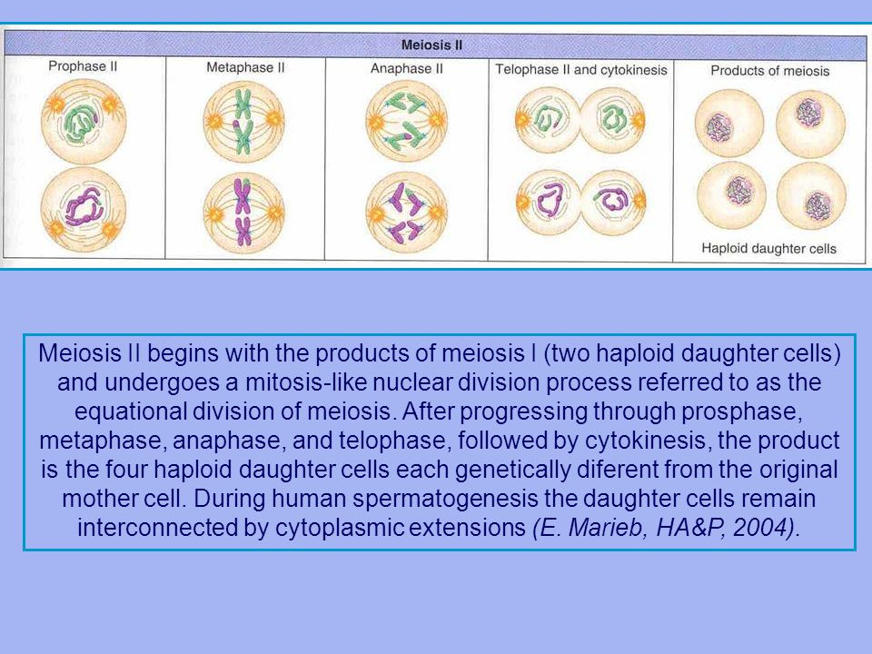 Meiosis II begins with the products of meiosis I (two haploid daughter cells) and undergoes a mitosis-like nuclear division process referred to as the equational division of meiosis.