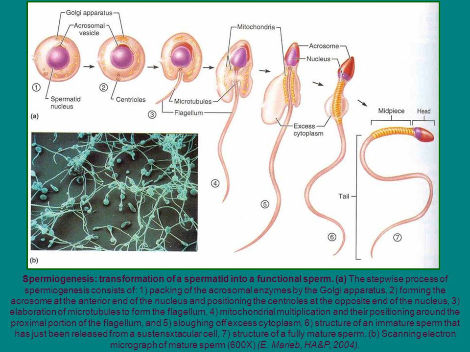 Spermiogenesis: transformation of a spermatid into a functional sperm