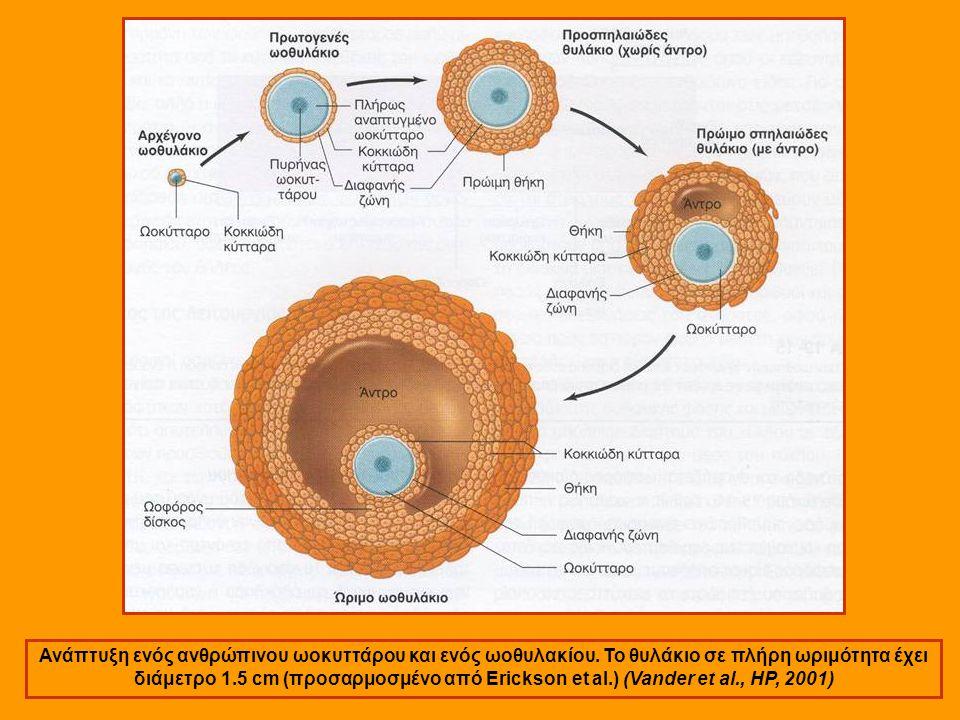 Ανάπτυξη ενός ανθρώπινου ωοκυττάρου και ενός ωοθυλακίου