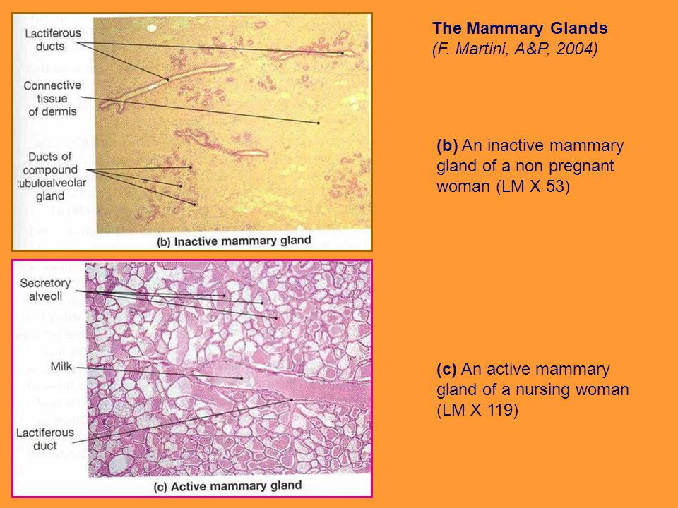 The Mammary Glands (F. Martini, A&P, 2004)