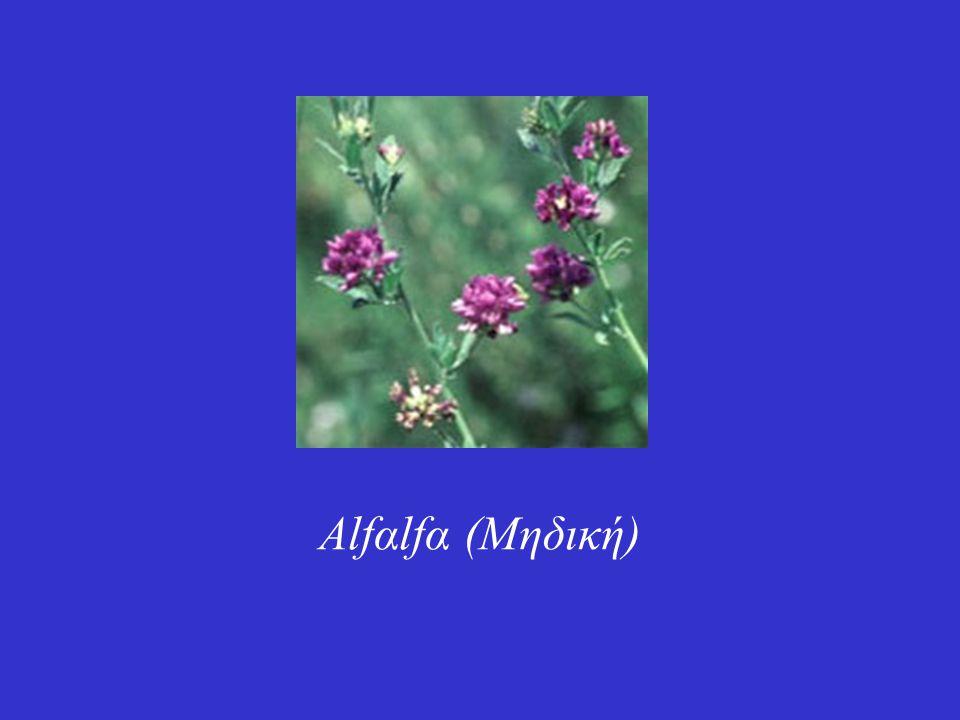 Alfαlfα (Μηδική)