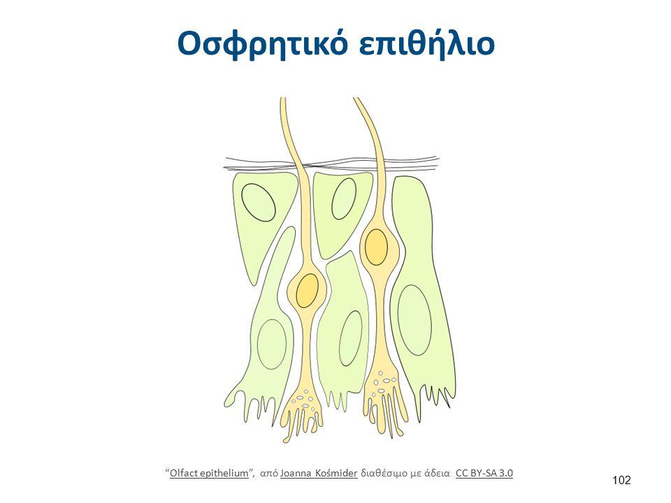 Πορεία οσφρητικών νεύρων προς τον εγκέφαλο