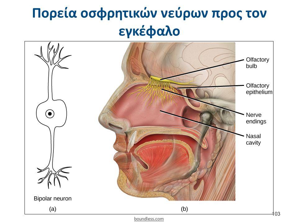 Μεταιχμιακό σύστημα και όσφρηση