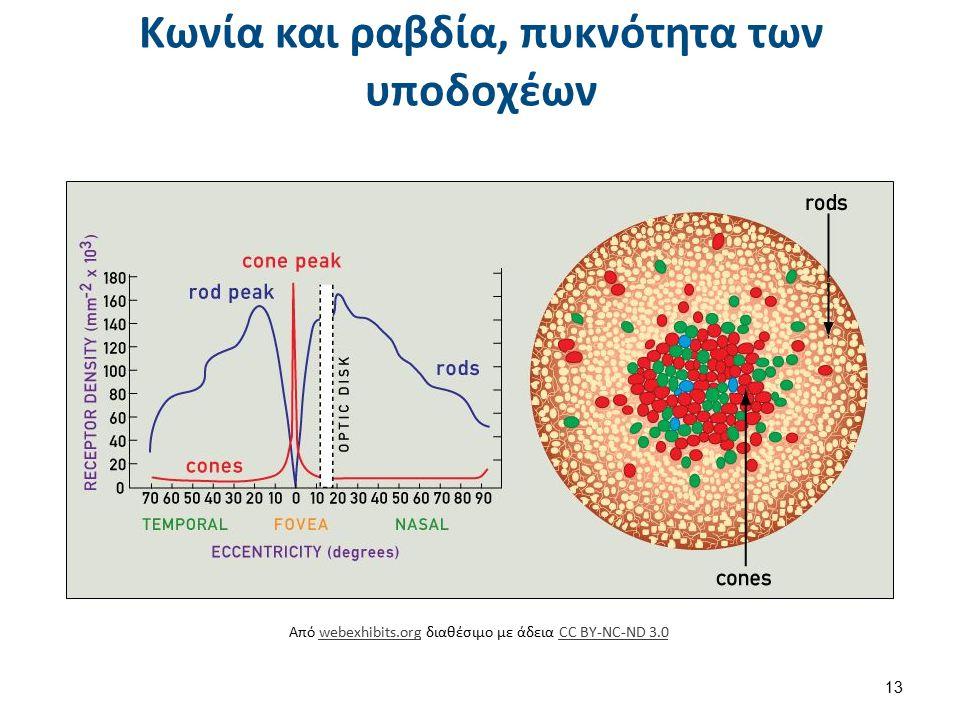 Cone cell en , από Kruusamägi διαθέσιμο με άδεια CC BY-SA 3.0