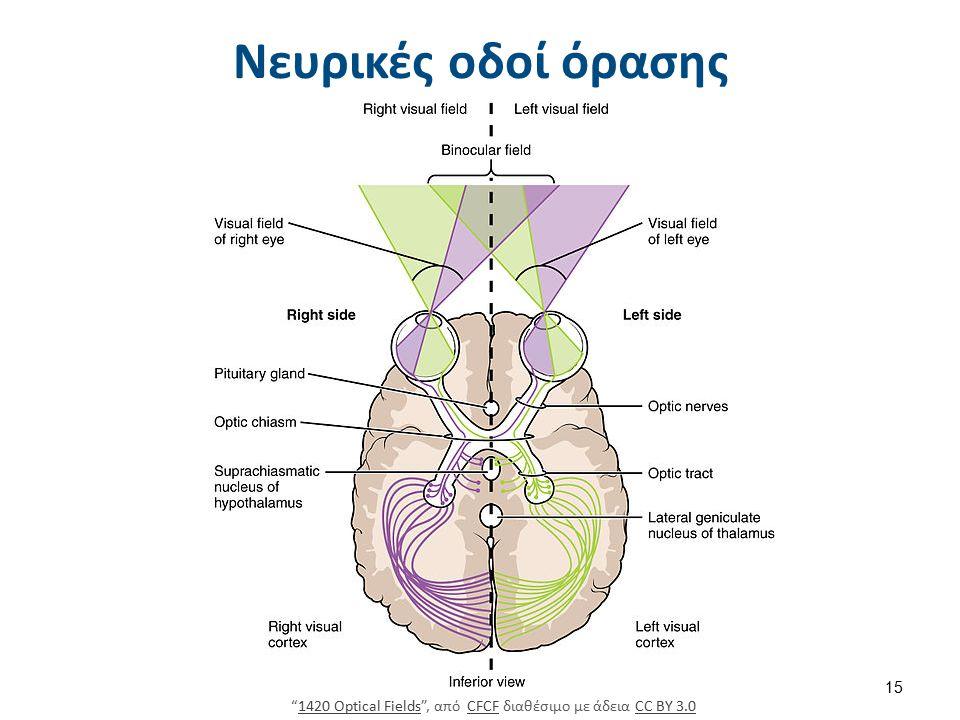 Νευρικές οδοί και προβολές στον οπτικό φλοιό