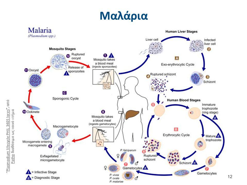 Bartonella bacilliformis