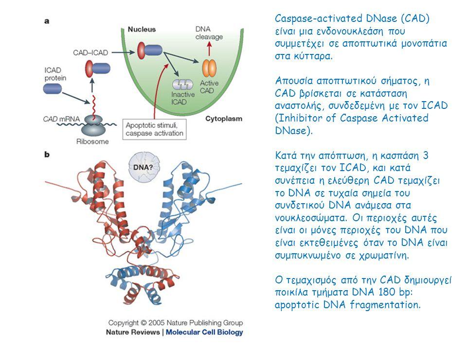 Caspase-activated DNase (CAD) είναι μια ενδονουκλεάση που συμμετέχει σε αποπτωτικά μονοπάτια στα κύτταρα.