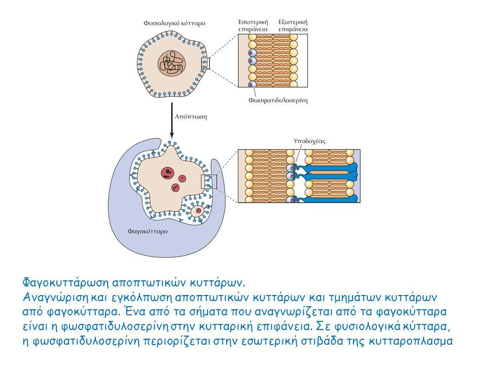 Φαγοκυττάρωση αποπτωτικών κυττάρων.