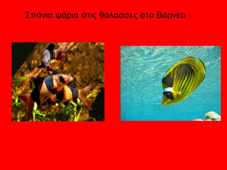 Σπάνια ψάρια στις θάλασσες στο Βόρνεο