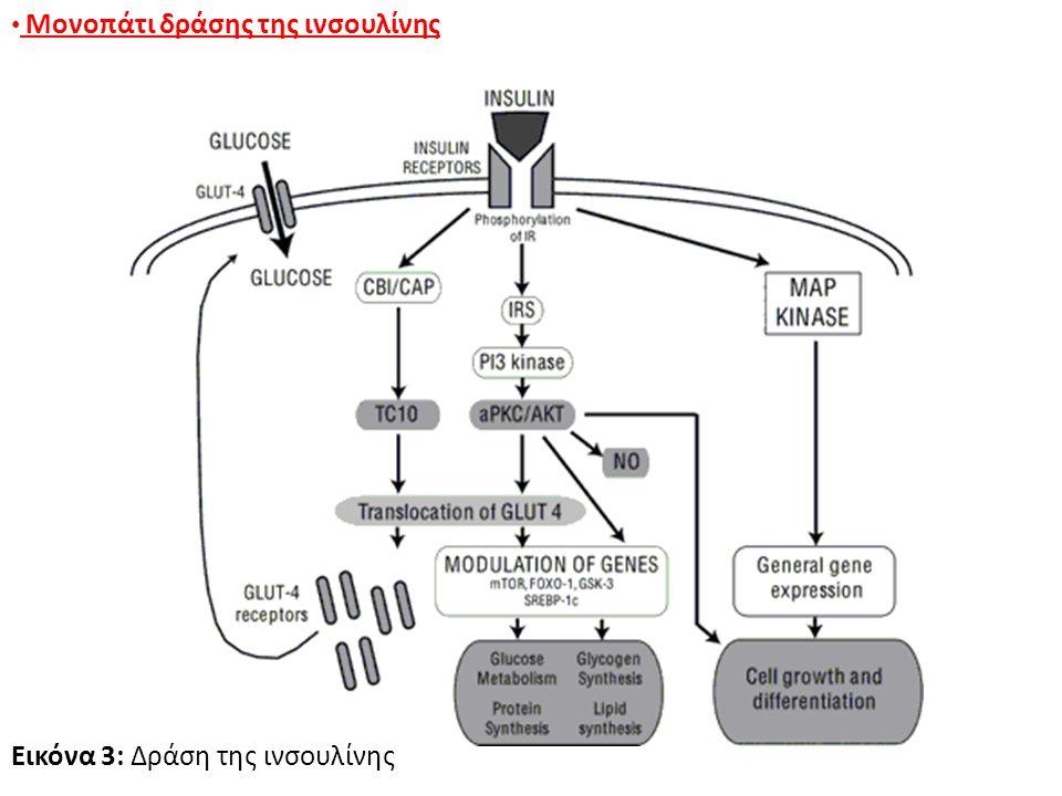 Εικόνα 3: Δράση της ινσουλίνης