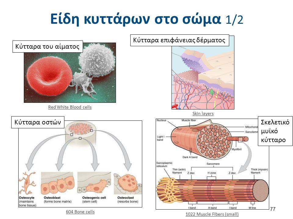 Είδη κυττάρων στο σώμα 2/2