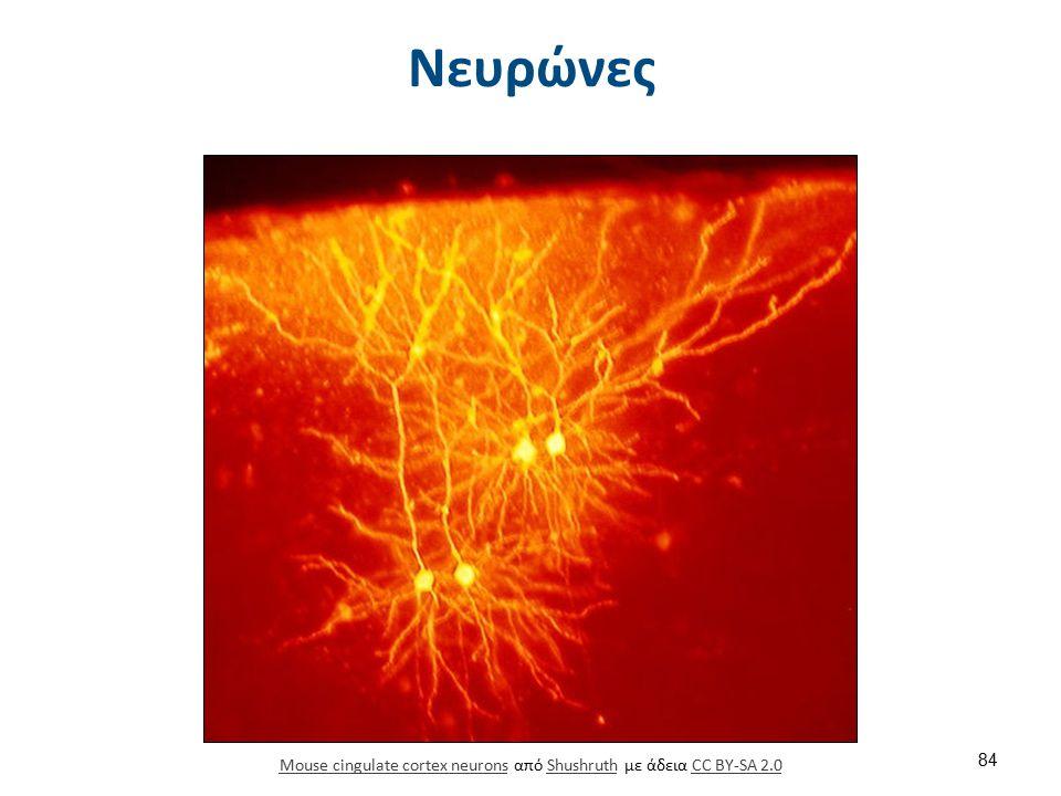 Διάφορα είδη νευρώνων Unipolar neuron Bipolar neuron Multipolar neuron