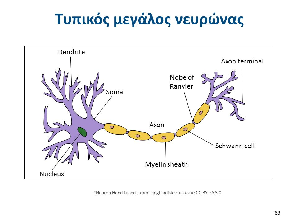 Τυπικός νευρώνας με μυελίνη