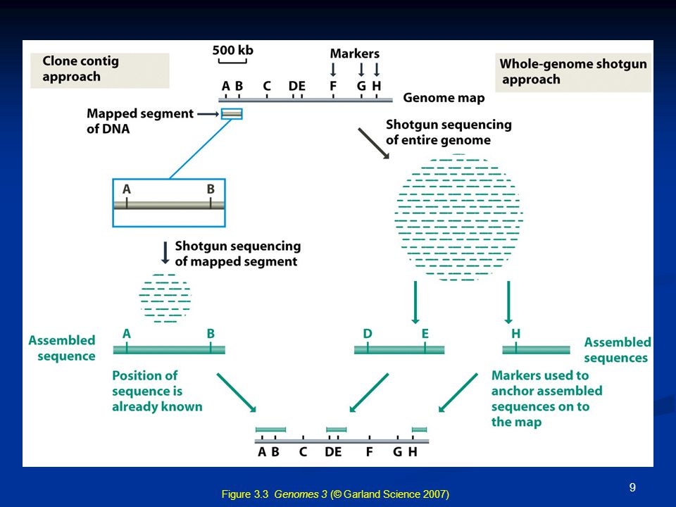 Figure 3.3 Genomes 3 (© Garland Science 2007)