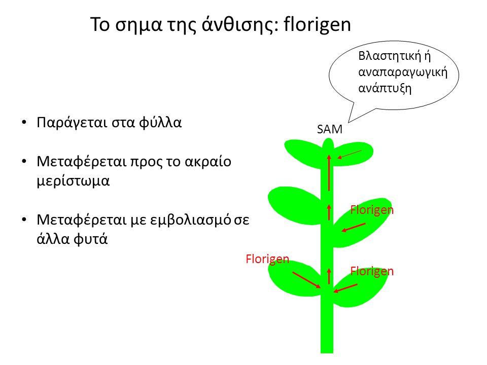 Το σημα της άνθισης: florigen