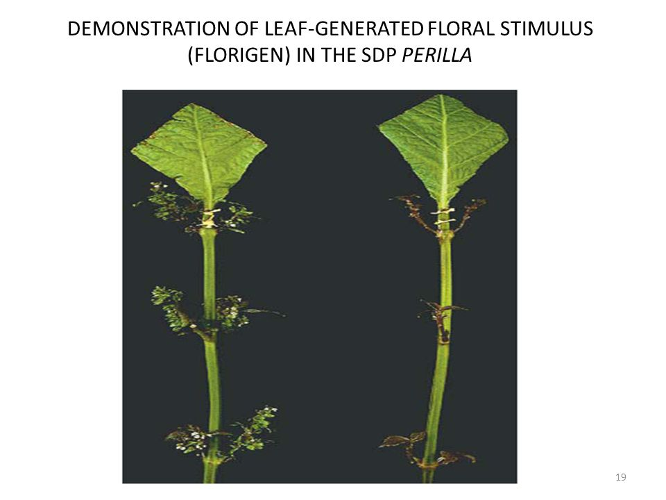DEMONSTRATION OF LEAF-GENERATED FLORAL STIMULUS (FLORIGEN) IN THE SDP PERILLA