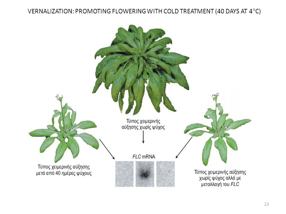 VERNALIZATION: PROMOTING FLOWERING WITH COLD TREATMENT (40 DAYS AT 4C)