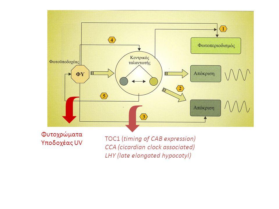   Φυτοχρώματα Υποδοχέας UV TOC1 (timing of CAB expression)