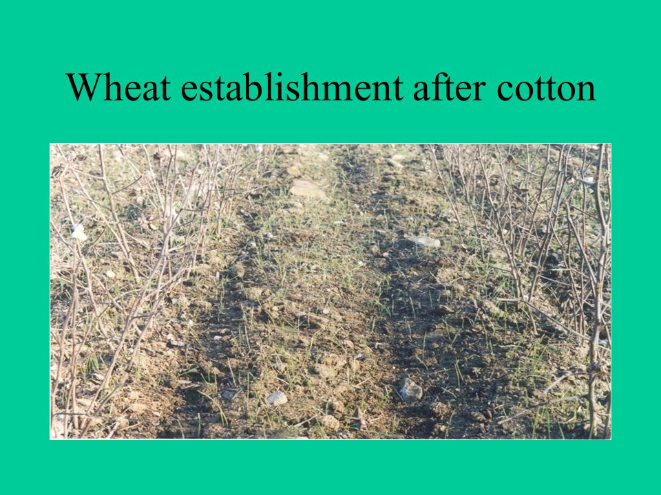 Wheat establishment after cotton
