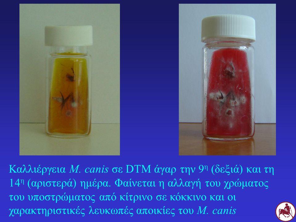 Καλλιέργεια M. canis σε DTM άγαρ την 9η (δεξιά) και τη 14η (αριστερά) ημέρα.