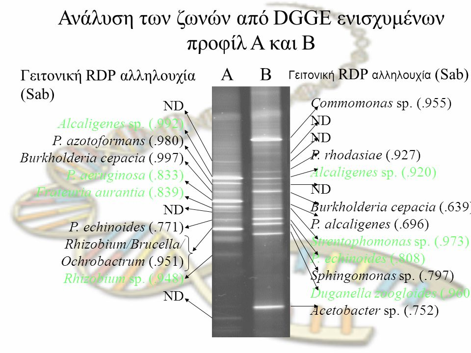 Ανάλυση των ζωνών από DGGE ενισχυμένων προφίλ A και B