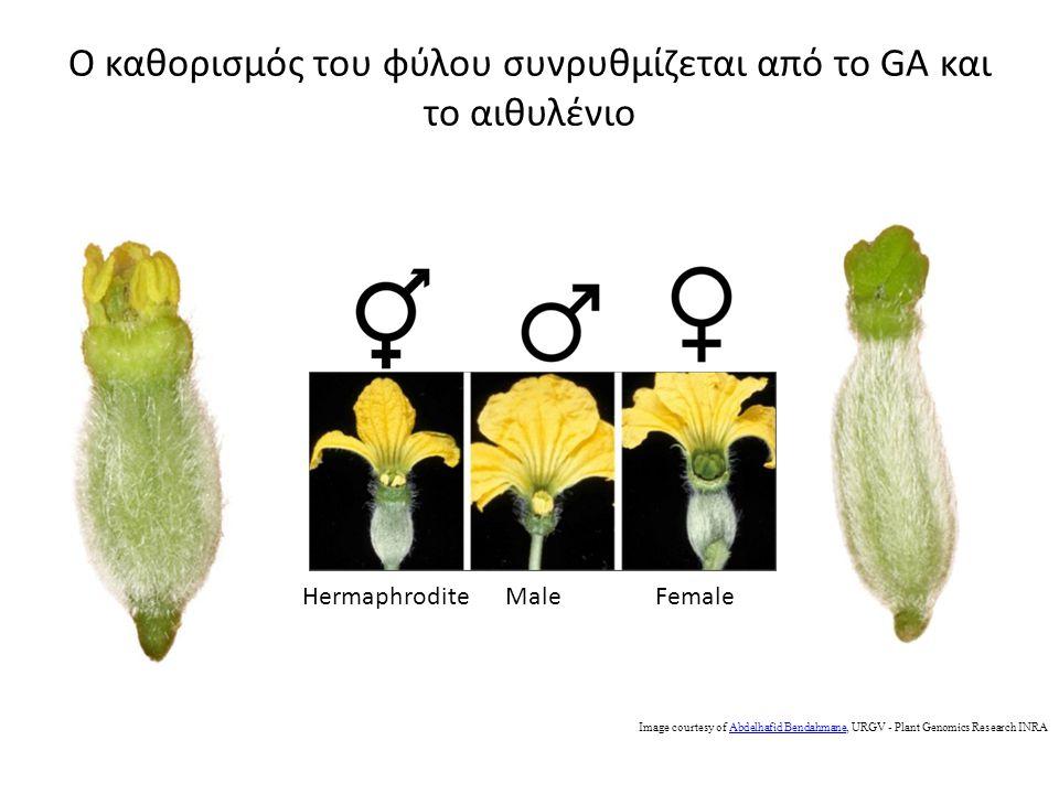 Ο καθορισμός του φύλου συνρυθμίζεται από το GA και το αιθυλένιο