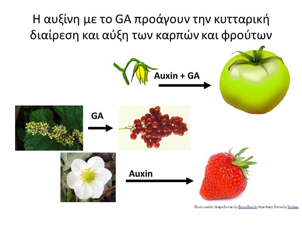 Η αυξίνη με το GA προάγουν την κυτταρική διαίρεση και αύξη των καρπών και φρούτων