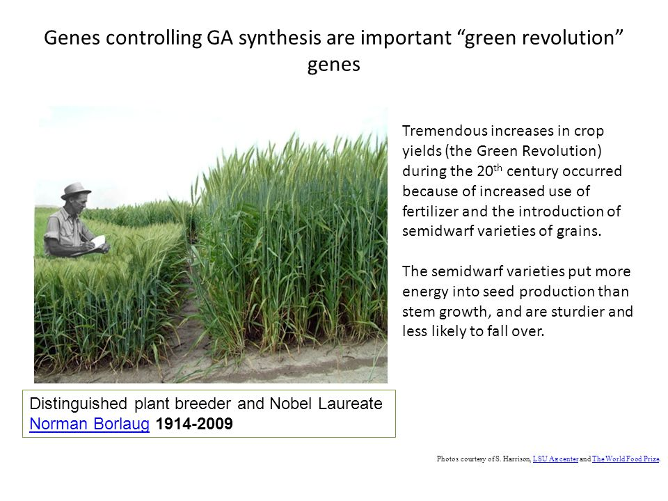 Genes controlling GA synthesis are important green revolution genes