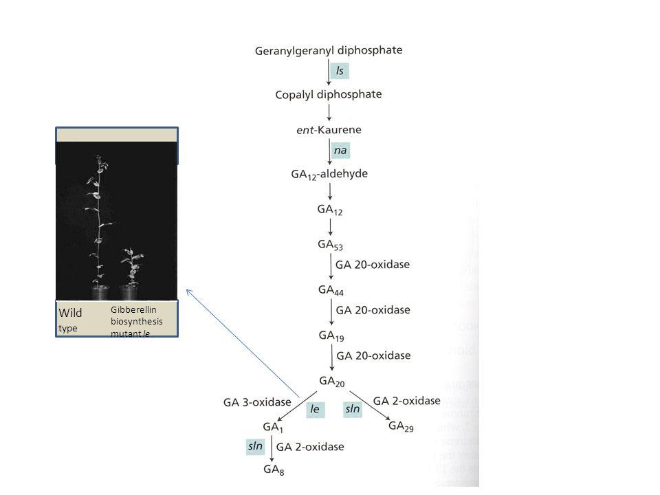 Wild type Gibberellin biosynthesis mutant le