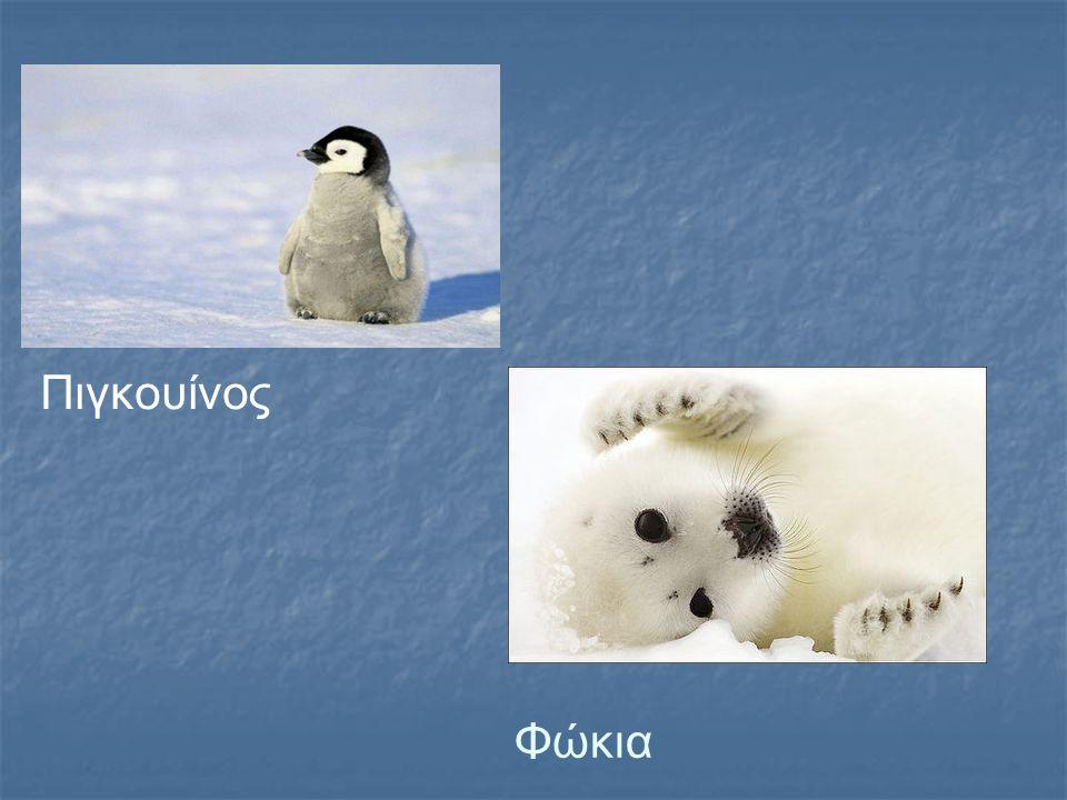 Πιγκουίνος Φώκια