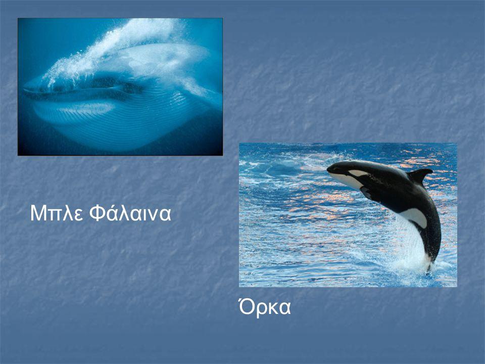 Μπλε Φάλαινα Όρκα