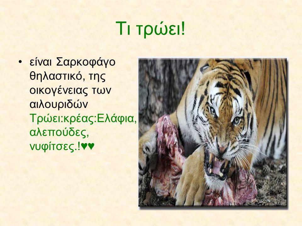 Τι τρώει! είναι Σαρκοφάγο θηλαστικό, της οικογένειας των αιλουριδών Τρώει:κρέας:Ελάφια, αλεπούδες, νυφίτσες.!♥♥