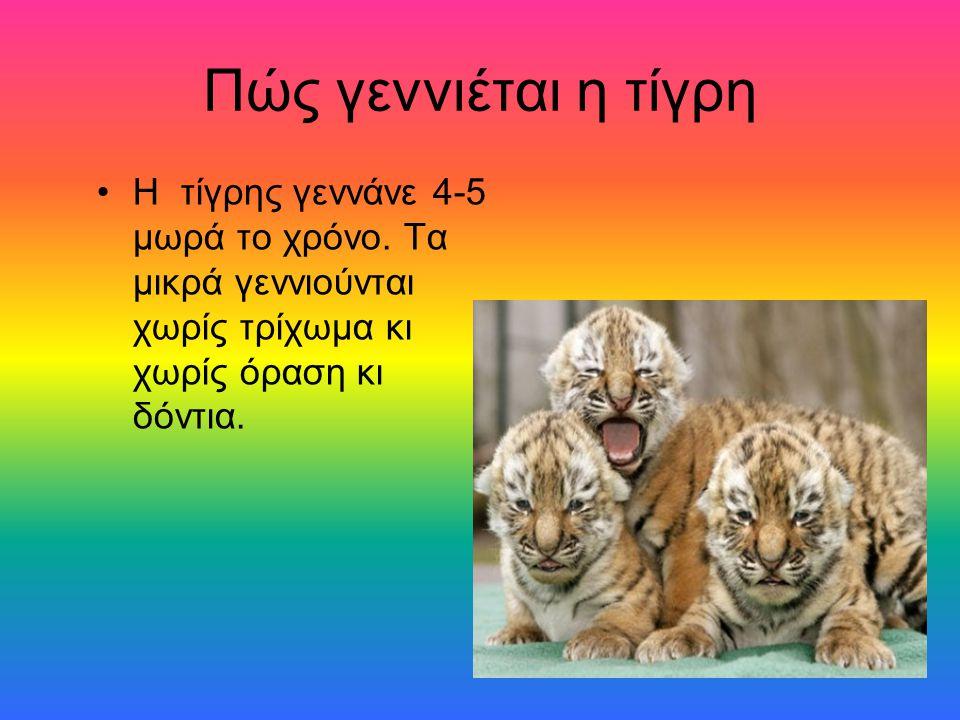 Πώς γεννιέται η τίγρη Η τίγρης γεννάνε 4-5 μωρά το χρόνο.