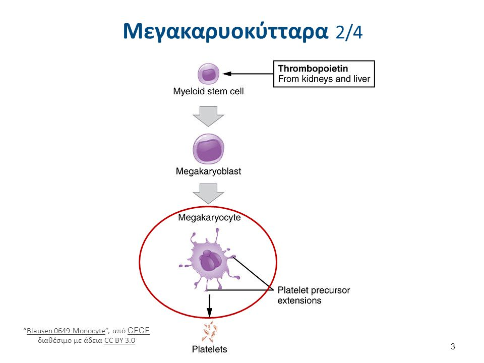 Μεγακαρυοκύτταρα 3/4 Megakaryocyte1 , από Arcadian διαθέσιμο με άδεια CC BY-SA 3.0.