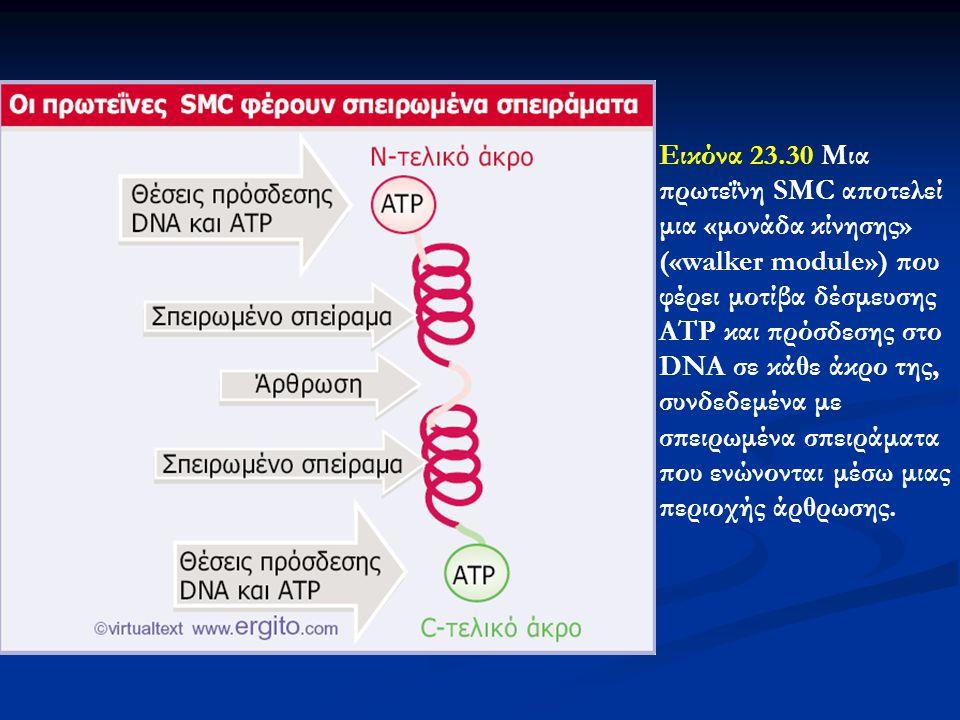 Εικόνα 23.30 Μια πρωτεΐνη SMC αποτελεί μια «μονάδα κίνησης» («walker module») που φέρει μοτίβα δέσμευσης ATP και πρόσδεσης στο DNA σε κάθε άκρο της, συνδεδεμένα με σπειρωμένα σπειράματα που ενώνονται μέσω μιας περιοχής άρθρωσης.