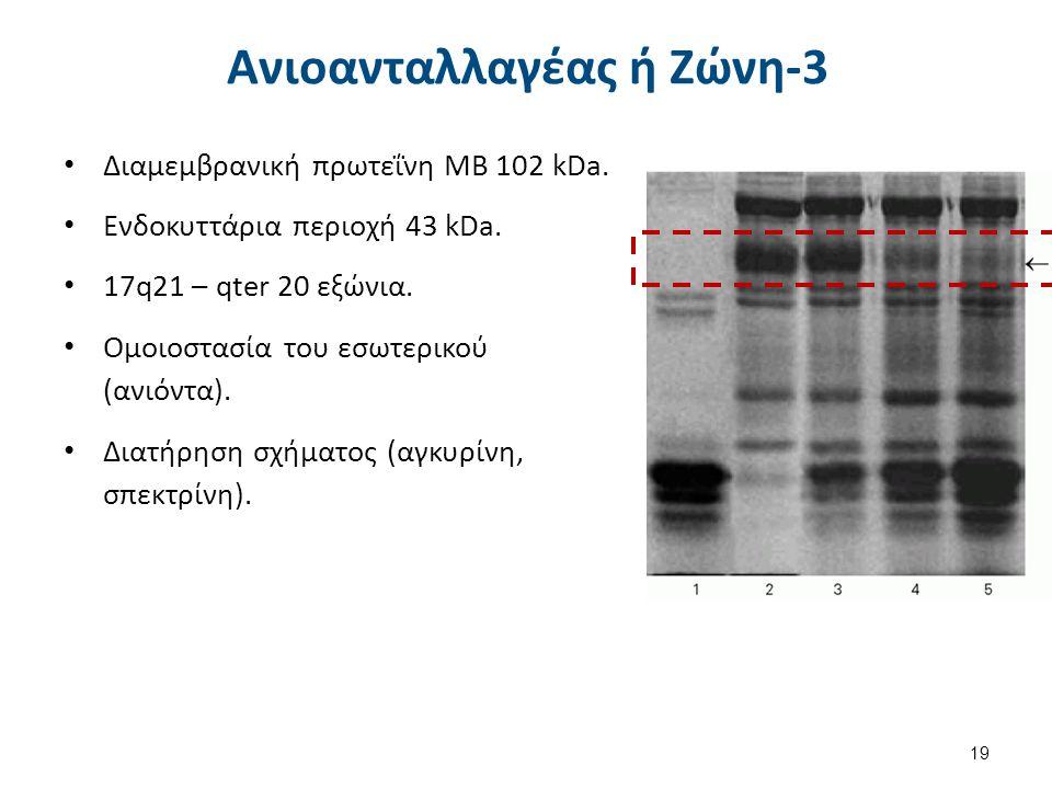 Αγκυρίνη 1/2 MB 210 kDa. 8p11.2 με 42 εξώνια. 3 περιοχές: