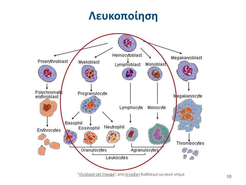 Λευκοκύτταρα Blausen 0909 WhiteBloodCells , από BruceBlaus διαθέσιμο με άδεια CC BY 3.0