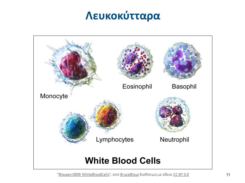 Λεμφοκύτταρα allaboutblood.com