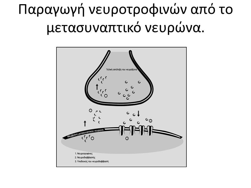 Παραγωγή νευροτροφινών από το μετασυναπτικό νευρώνα.