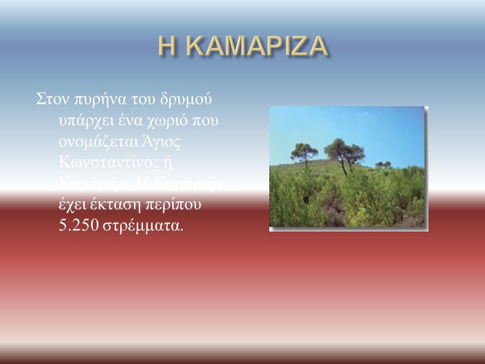 Η ΚΑΜΑΡΙΖΑ Στον πυρήνα του δρυμού υπάρχει ένα χωριό που ονομάζεται Άγιος Κωνσταντίνος ή Καμάριζα.