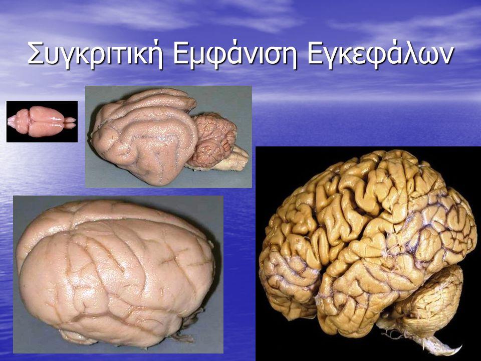 Συγκριτική Εμφάνιση Εγκεφάλων