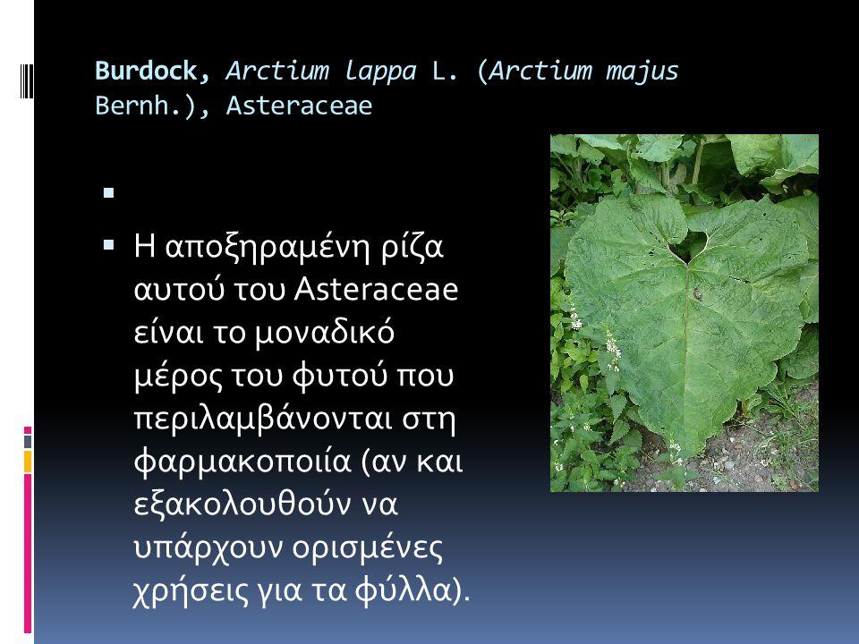 Burdock, Arctium lappa L. (Arctium majus Bernh.), Asteraceae