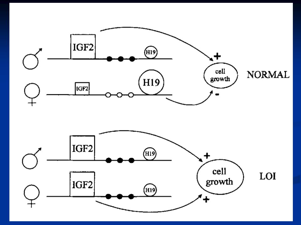 Model of loss of imprinting of IGF2, H19 and methylation of the H19 promoter in Wilms tumor