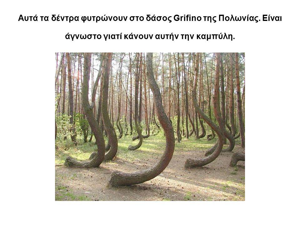 Αυτά τα δέντρα φυτρώνουν στο δάσος Grifino της Πολωνίας