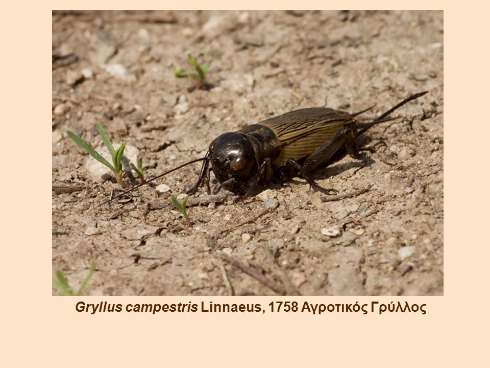 Gryllus campestris Linnaeus, 1758 Αγροτικός Γρύλλος